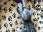 美短标斑弟弟妹妹1300 猫咪价格以标题价格为准