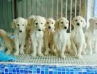 南京哪有阿富汗猎犬卖 南京阿富汗猎犬价格 阿富汗猎犬多少钱