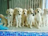 北京哪有阿富汗猎犬卖 北京阿富汗猎犬多少钱 阿富汗猎犬图片