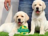 冠军级拉登血系拉布拉多幼犬待售.可签订纯正活体协议可送货上门