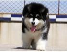 顶级精品阿拉斯加雪橇犬 超帅气 超拉风让你面子十足