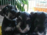 加手机微信送用品 家养一窝纯种雪纳瑞幼犬出售,公母都有。