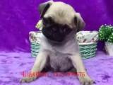 温州哪里有纯种八哥犬 温州鹰版八哥多少钱 哪里卖便宜八哥出售