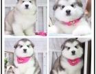 出售纯种十字脸阿拉斯加幼犬 可爱健康质保