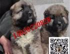 高加索幼犬多少钱一只 高加索犬图片