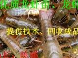 供应淡水小龙虾种苗,龙虾苗,种苗,虾苗,抱卵虾