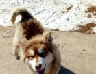 出售大狗笼子,阿拉斯加母犬