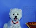 纯种西高地幼犬转让 小西高地是白色西部高地白梗