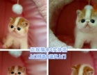 双色布偶猫(家庭猫舍)签订协议,可送货上门