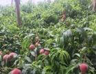 桃采摘 咱东北自己的桃树无化肥膨大素
