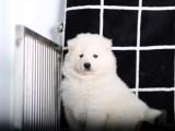大型养殖基地出售雪白色萨摩耶幼犬 超大毛量