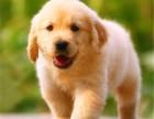 广州纯种金毛犬价但却非常平均钱大概多少 广州纯种金毛犬图片余窃以为