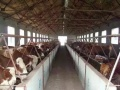 山西哪里卖小牛,山西大型养牛厂欢迎您