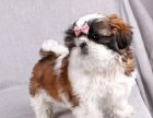 哪里有卖西施西施多少钱西施图片西施幼犬