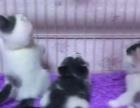 胖胖的英短小猫找新家啦
