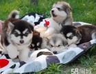 霸气十足阿拉斯加犬 血统纯正帅气阿拉小狗 颜色齐全