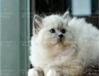 猫舍繁殖精品布偶猫 签协议包健康纯种