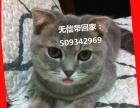 3月的折耳母猫求美丽动人的女生没条件领养回家