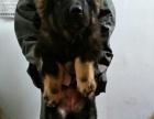 腾飞犬业基地出售高加索幼犬