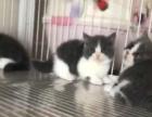 英短矮脚蓝猫萌萌哒