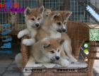 有没有卖带血统的秋田犬要包健康包纯种的