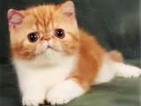 四川绵阳加菲猫幼猫价格