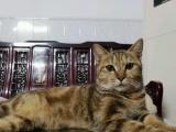 花儿与少年同款自家加菲猫生奶猫咖啡色棕色非纯种