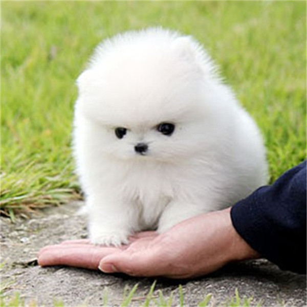 买狗找我 滨州哪里有卖纯种博美,博美多少钱