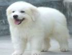 纯种巨型大白熊幼犬终身品质保障品相**健康协议