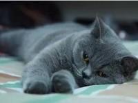 出售纯种英短蓝白蓝猫活体 折耳蓝猫 英国短毛猫猫咪 保障健康