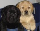 泰迪 比熊 萨摩 雪纳瑞 博美 哈士奇名犬长期出售