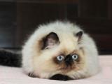 猫舍出售超高品质加菲DDMM保健康保纯种