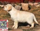 郑州出售纯种拉布拉多幼犬健康质保售后签订质保协议