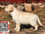 惠州纯种拉布拉多专业繁殖高品质拉布拉多幼犬
