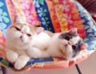 胖嘟嘟家养三个半月大加菲猫小猫咪找爱心猫妈领养照顾
