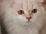 折耳小猫找新家