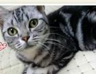 家养美短幼猫、成猫低价找新家