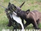 高品质比利时马犬易训练体型好撕咬能力强公母均有