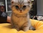 天津 折耳猫 多少钱 哪里有卖