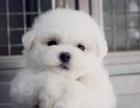 南京哪里有犬舍出售比熊的 南京比熊幼犬怎么卖