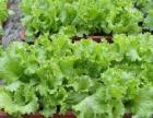 绿色无公害盆栽蔬菜
