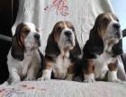 哪里有卖巴吉度猎犬的 巴吉度猎犬一般多少钱