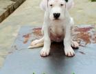 长春哪里有纯种杜高犬出售