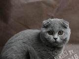 自家繁殖(不是猫舍)高品质,英短折耳蓝猫猫,双血统