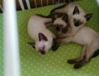 签正规售后协议 出售 暹罗猫 可刷卡可送货 自家猫舍繁殖
