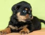 罗威纳犬纯种家养繁殖罗威纳犬出售精品家养活体宠物狗