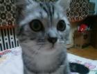 旺妮美喵 种猫展示幼崽预定
