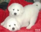 性情温和的大白熊狗狗待售多只可挑选喜欢的就来挑选