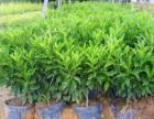 厦门绿化非洲茉莉植物别墅工厂小区医院公司园林景观设计施工