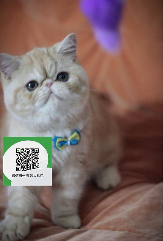 镇江哪里卖加菲猫便宜 镇江哪里卖加菲猫 镇江哪里买加菲猫